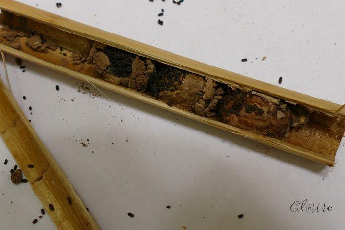 [Osmia cornuta] et hôtels pour insectes. et naissance ... 1_b21