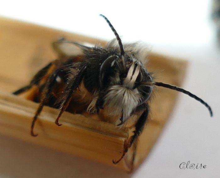 [Osmia cornuta] et hôtels pour insectes. et naissance ... 1_d15