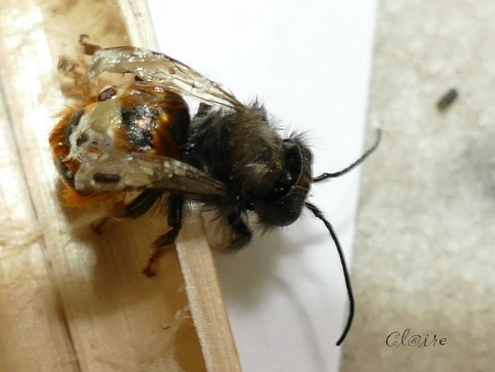 [Osmia cornuta] et hôtels pour insectes. et naissance ... 1e12