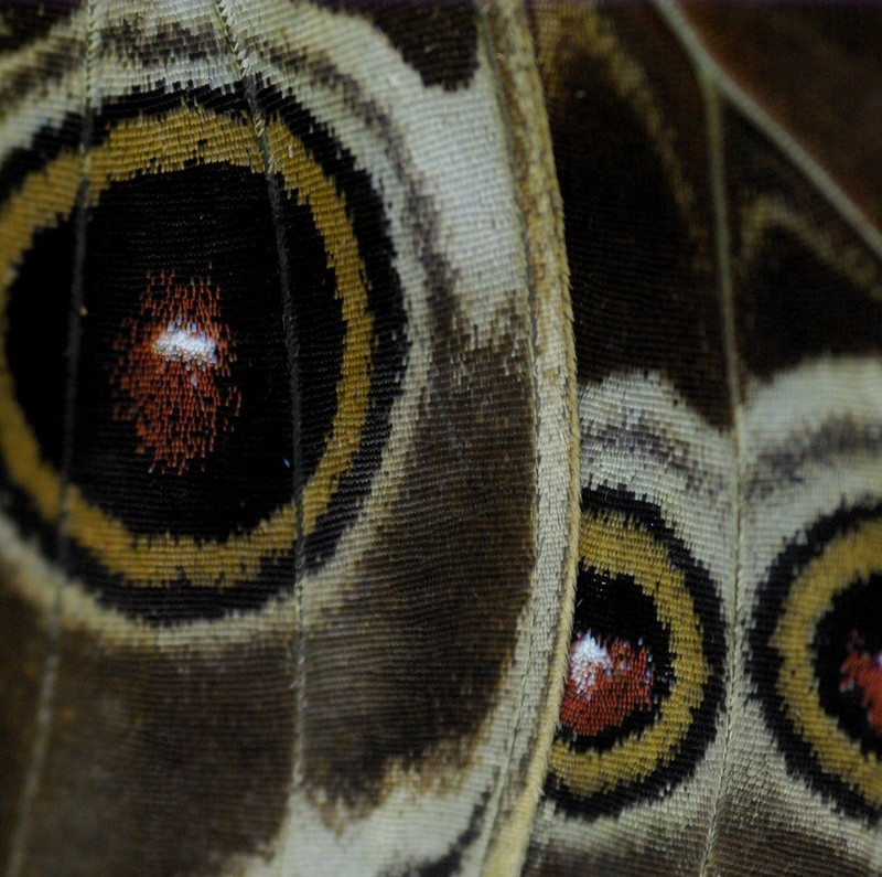 Rencontre papillons exotiques à Vannes 11 juin 2011 _igp2910