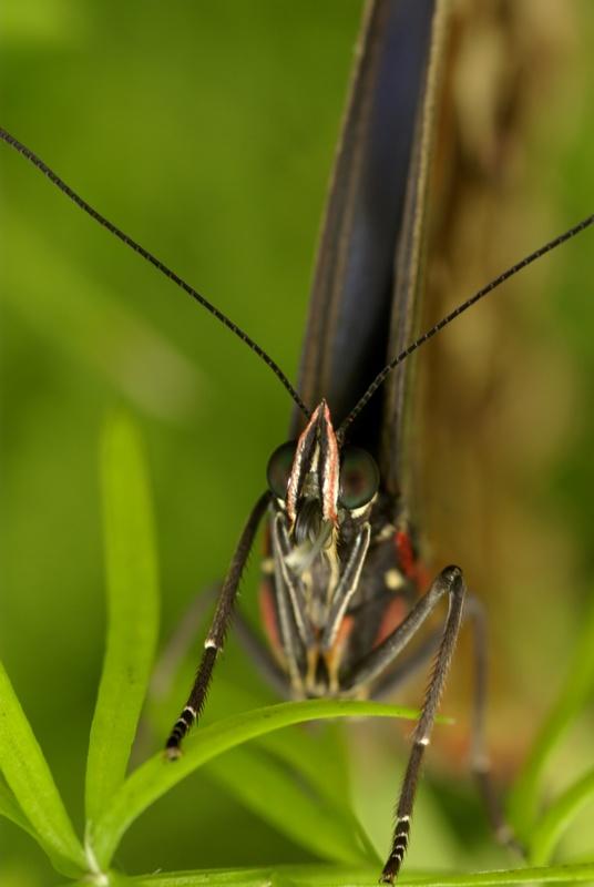 Rencontre papillons exotiques à Vannes 11 juin 2011 - Page 3 _igp2911
