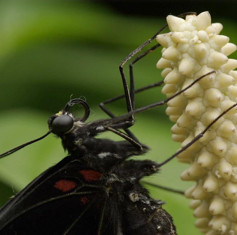 Rencontre papillons exotiques à Vannes 11 juin 2011 - Page 3 _igp2912