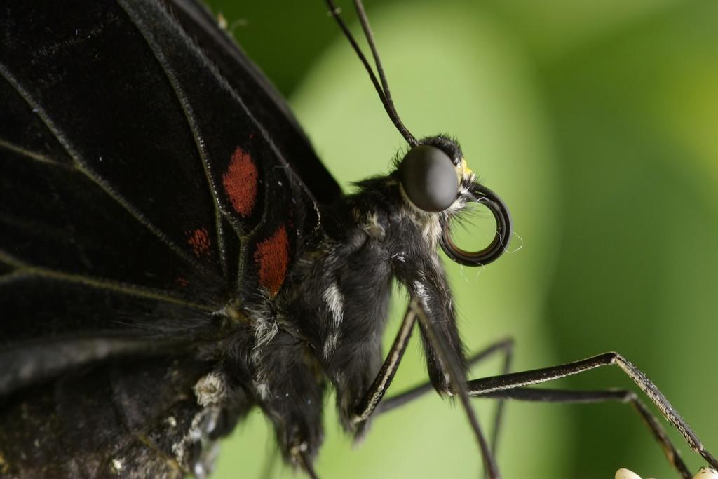 Rencontre papillons exotiques à Vannes 11 juin 2011 - Page 3 _igp2913
