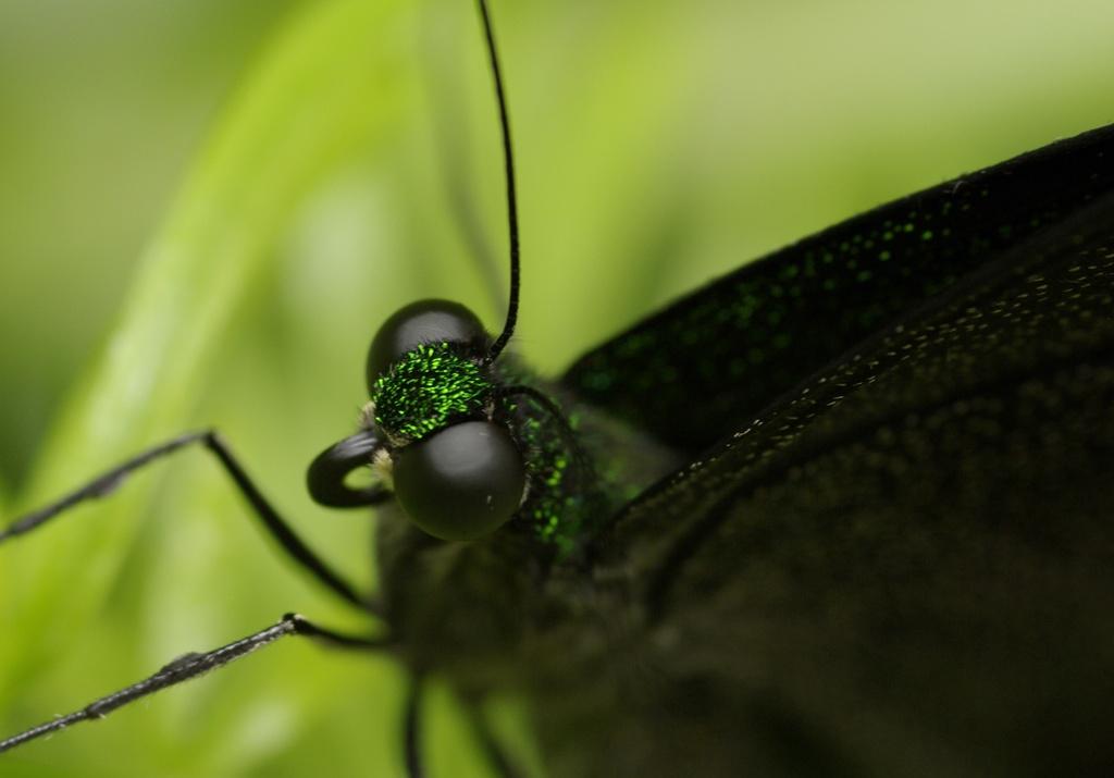 Rencontre papillons exotiques à Vannes 11 juin 2011 - Page 3 _igp3010