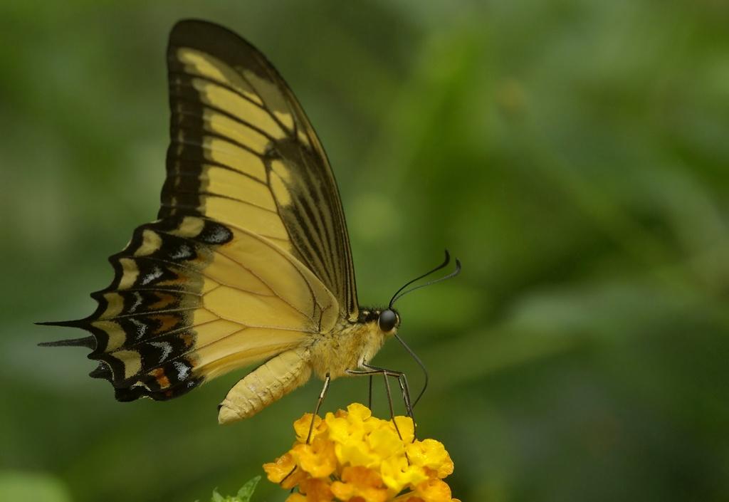 Rencontre papillons exotiques à Vannes 11 juin 2011 - Page 3 _igp3111