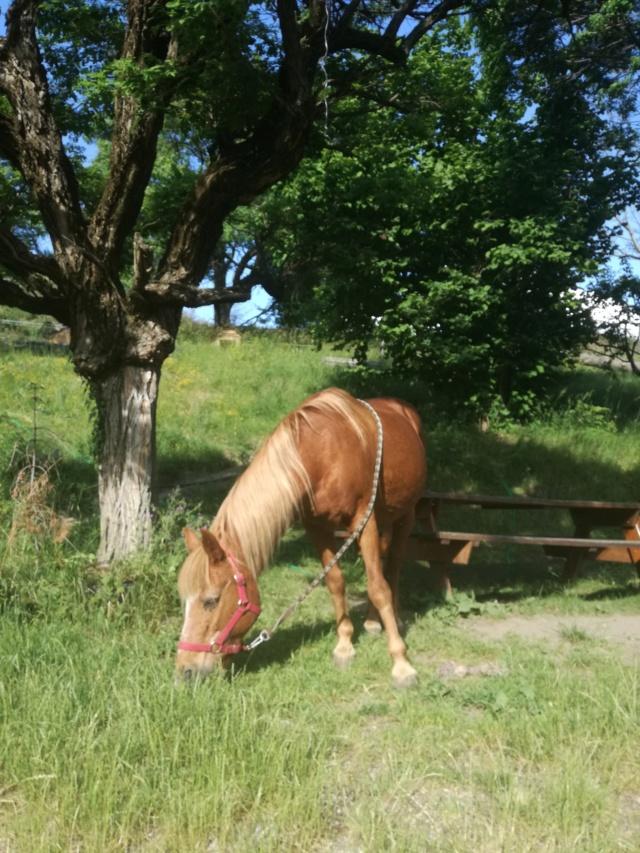 (04) CÂLINE - Poney née en 1990 - NON MONTABLE - A ADOPTER (126 € + don libre) Img_2086