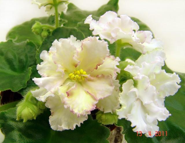 Sunkist Rose Sunkis10