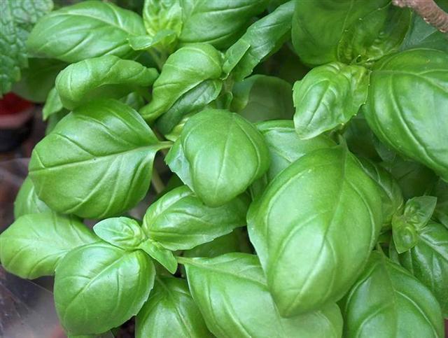 Petit quizz des plantes - Page 17 Basili10
