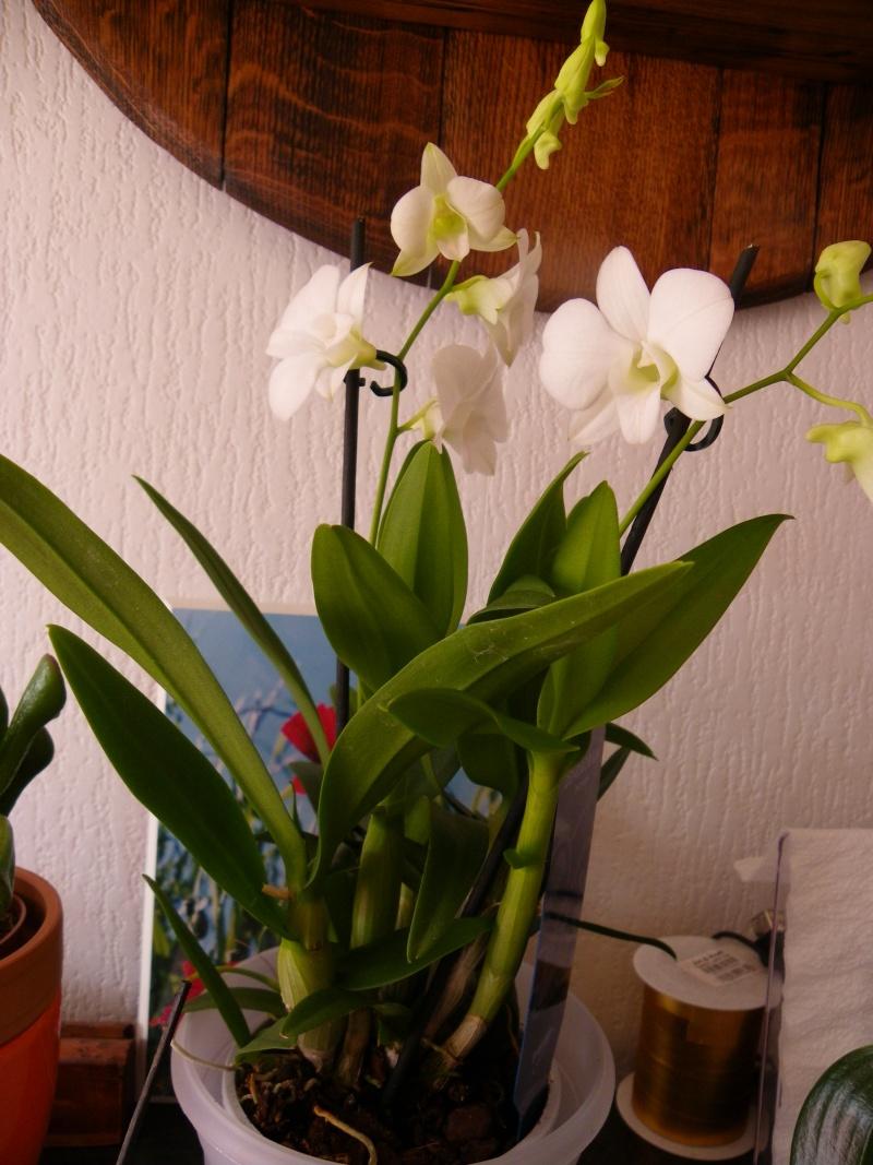 mes orchidées Imgp3615