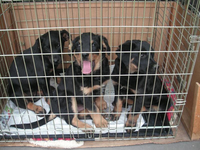 URGENT Galia recherche FA pour 3 bebes beaucerons 1 mois 1/2 en fourriere (85) Chiotb14