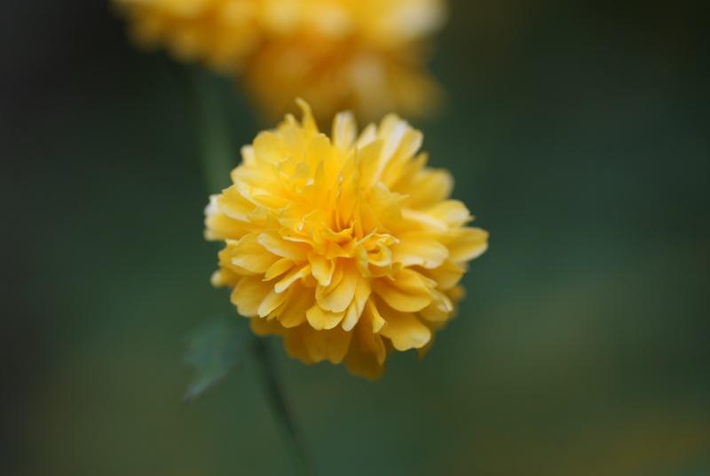 Corete a fleurs double Arbore53