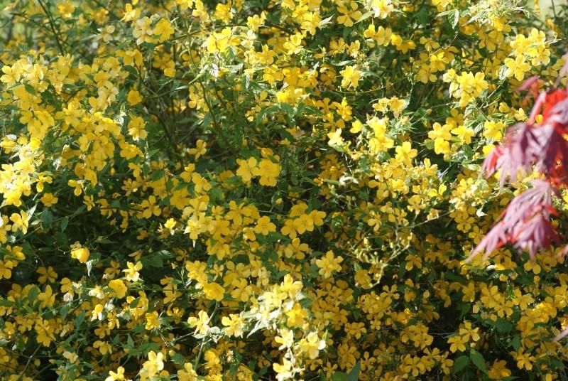 Corete a fleurs simple Arbore54