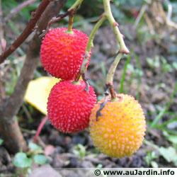 Arbousier, arbre aux fraises, Arbutu10