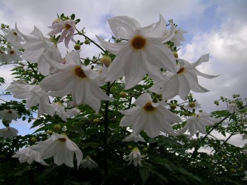 Dahlia imperialis ou Dahlia en arbre - Page 2 Bulbar10