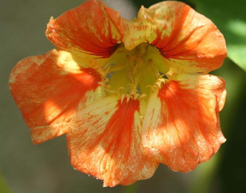 Tropaeolum majus (capucines) Capuci12