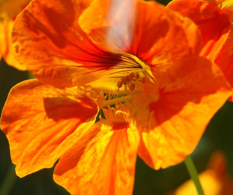Tropaeolum majus (capucines) Capuci13