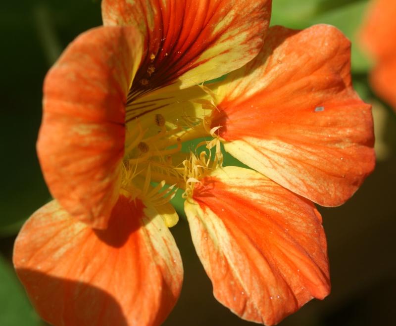 Tropaeolum majus (capucines) Capuci14