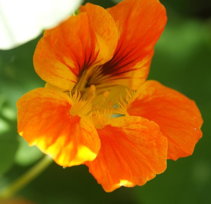 Tropaeolum majus (capucines) Capuci15