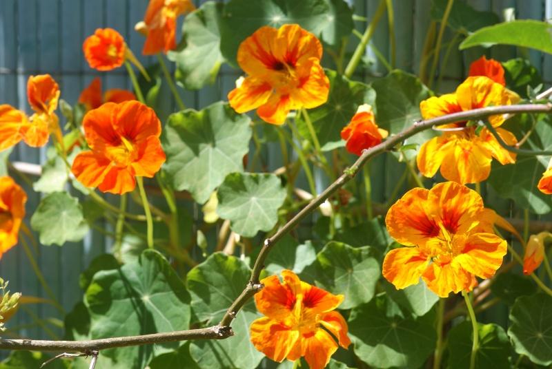 Tropaeolum majus (capucines) Capuci16