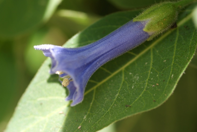 Iochroma (datura petite fleur bleu) Datura12