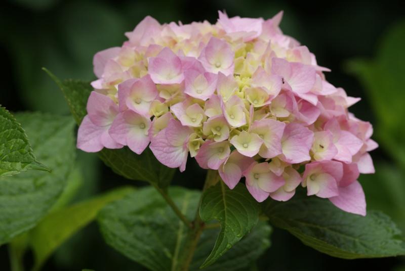Hydrangea   Hortensia des jardins - Page 2 Deux_c19