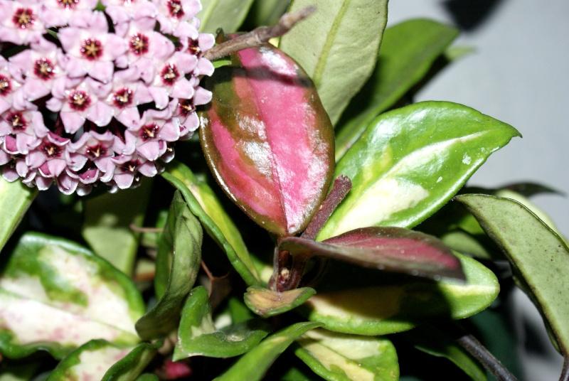 Hoya carnosa tricolore Dsc00019