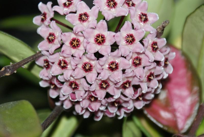 Hoya carnosa tricolore Dsc00020