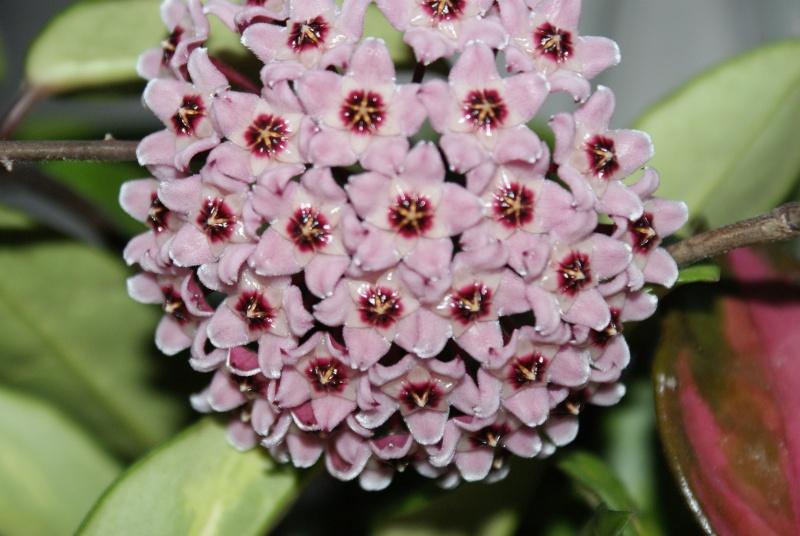 Hoya carnosa tricolore Dsc00021