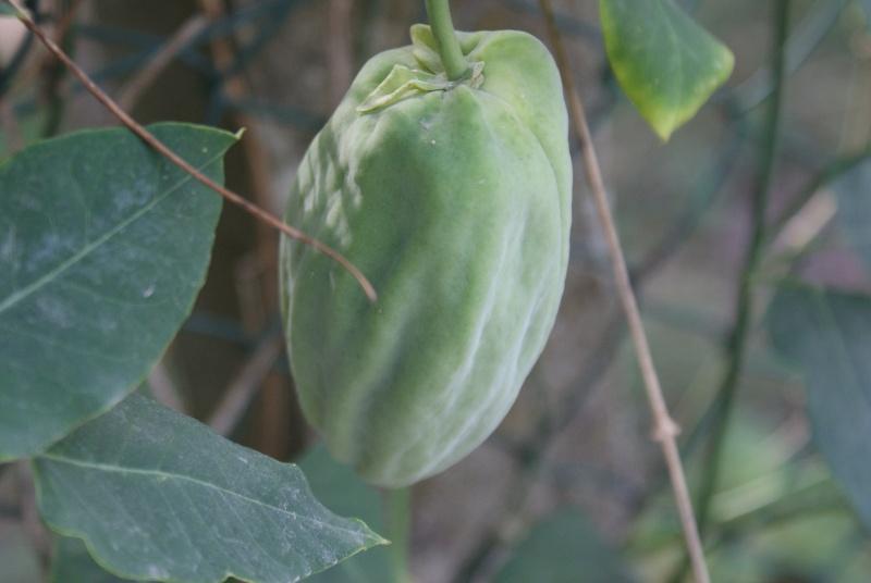 Araujia  (plante cruelle) Dsc00114