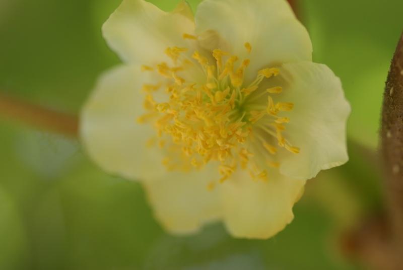 actinidia fruit kiwi - Page 2 Fleur_10