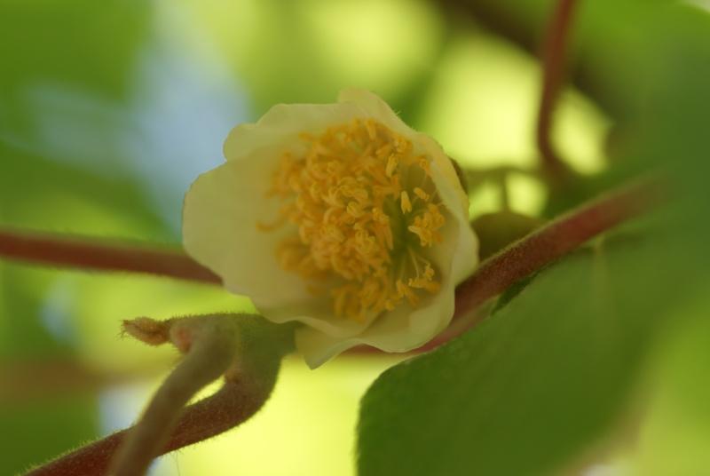 actinidia fruit kiwi - Page 2 Fleur_11