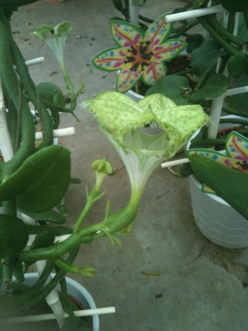 Plante d'appartement peut-être hoya ? non :  ceropegia sandersonii ou plante parachute  Fleurs12