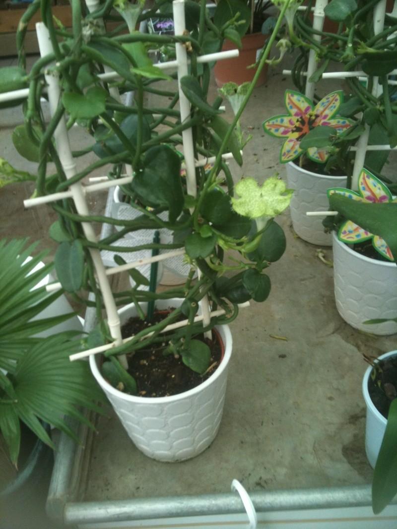 Plante d'appartement peut-être hoya ? non :  ceropegia sandersonii ou plante parachute  Fleurs13