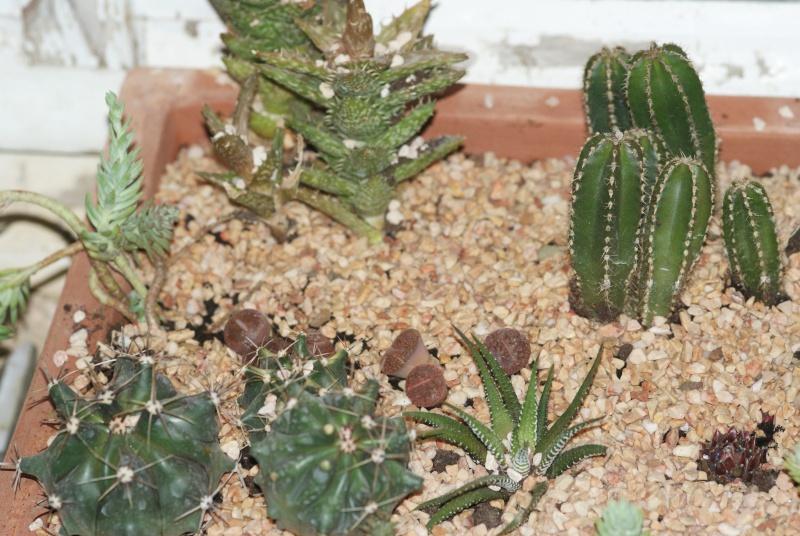 Cactus & co en climat tempéré Inconn15
