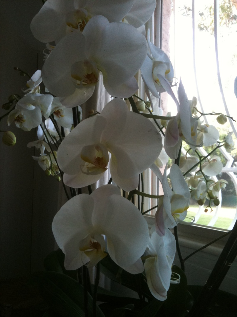 Phalaenopsis - Page 3 Orchid10