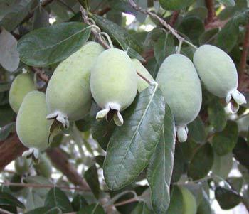 Feijoa, goyavier du Brésil Pineap11