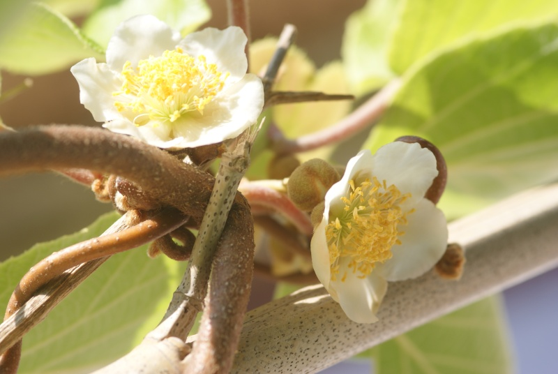actinidia fruit kiwi - Page 2 Wattak13
