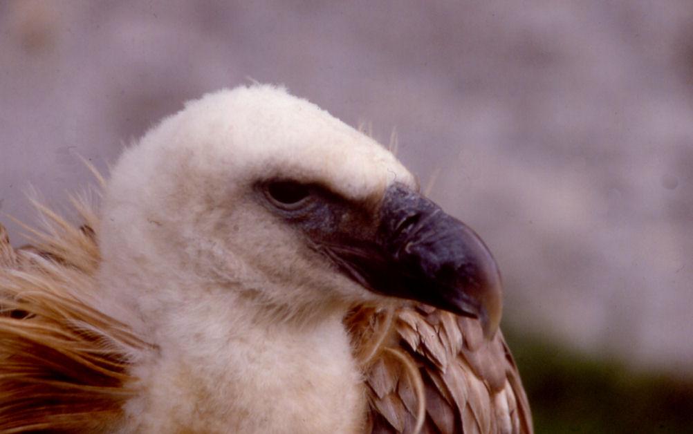 Après le Loup, les vautours Portra11