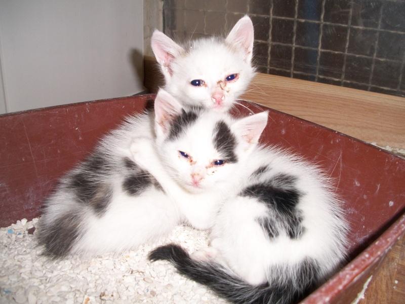 LIPTON (chaton mâle gris et blanc) 00216