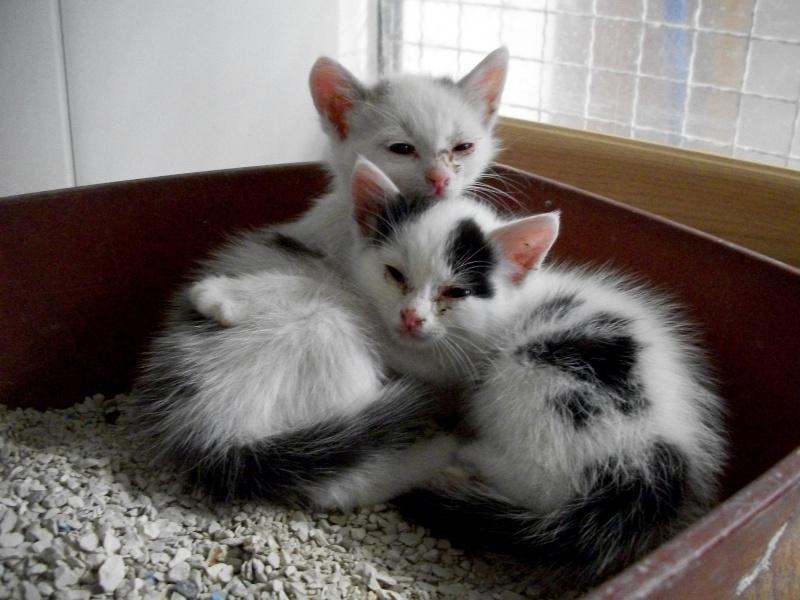 LIPTON (chaton mâle gris et blanc) 00514