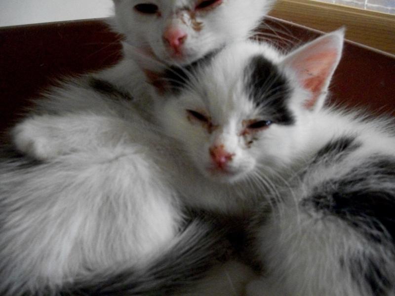 LAPONIE (chaton femelle noire et blanche) 00812