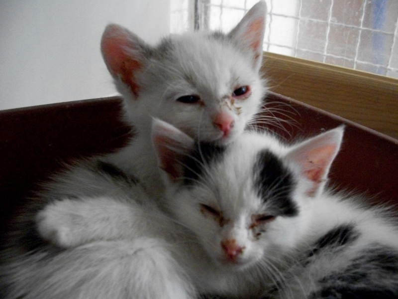 LIPTON (chaton mâle gris et blanc) 01012