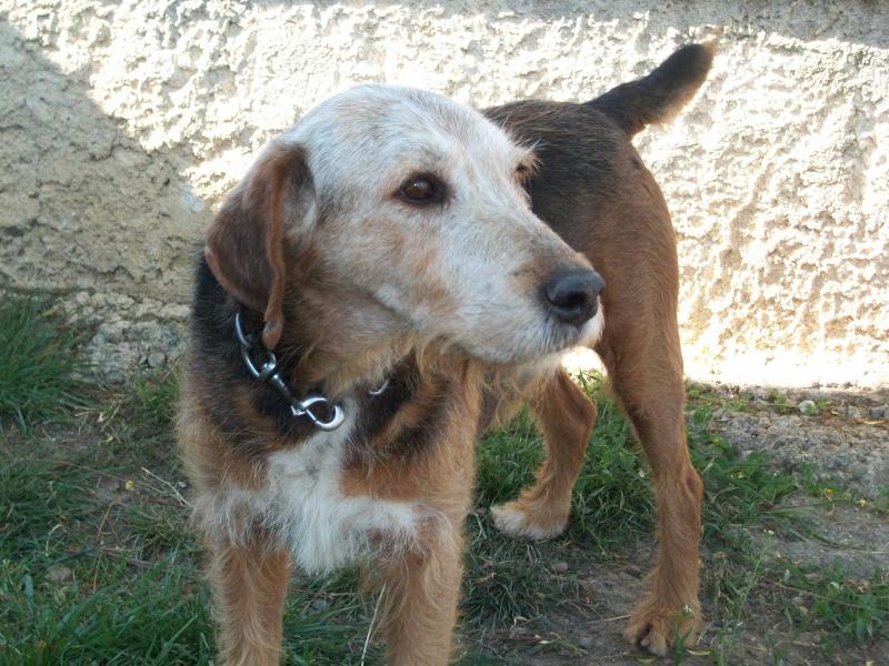 POKER (croisé berger/fox mâle) 03610