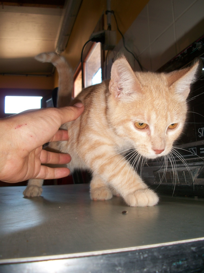 BANANIA  (chaton roux) Banabn18