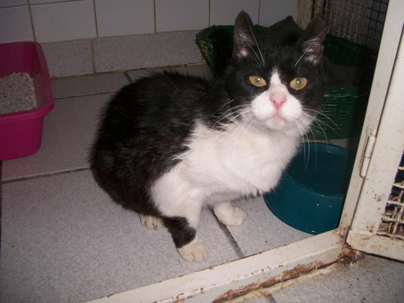 Trouvée à Ste Florine, chatte européenne noire et blanche Banabn26