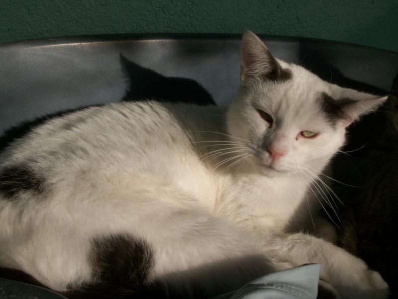 NEILS (européen blanc queue grise) Chat_034