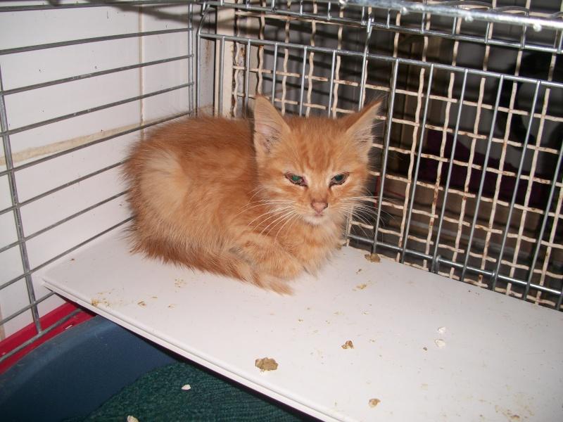Trouvé à Boudes, chaton roux, Noucky Chilie35