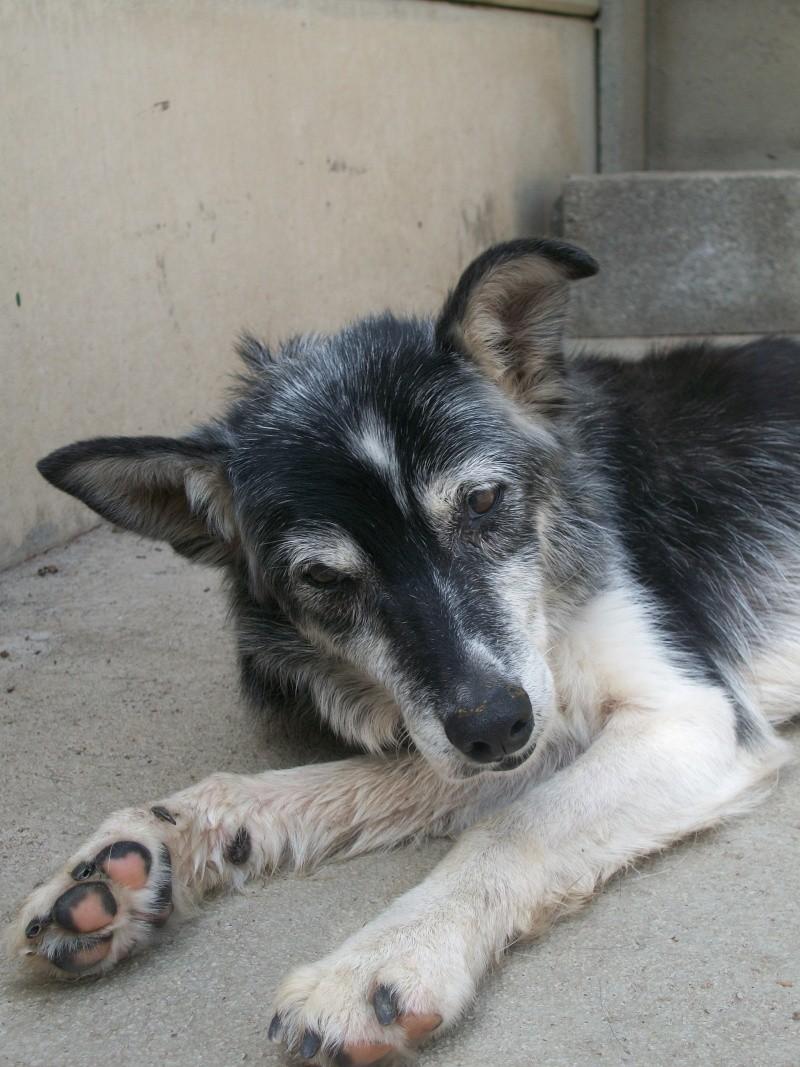 Trouvée chienne croisée husky baptisée VULCA H_00210