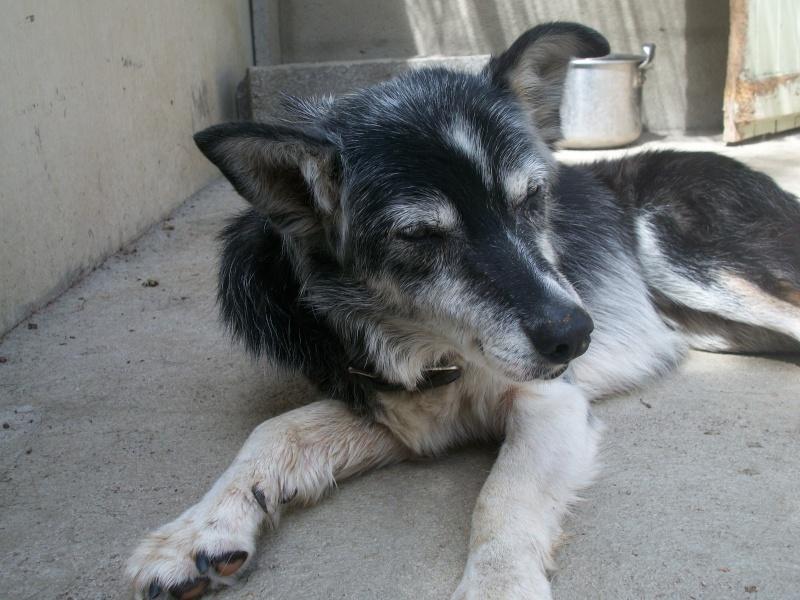 Trouvée chienne croisée husky baptisée VULCA H_00310