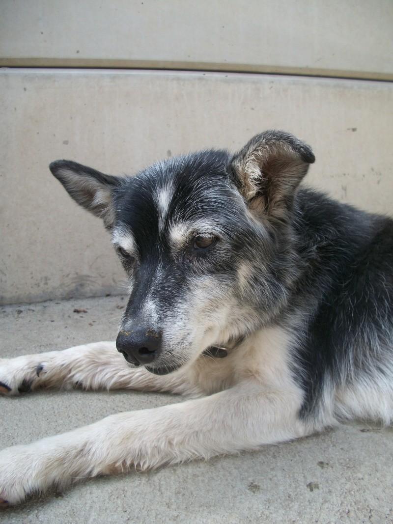 Trouvée chienne croisée husky baptisée VULCA H_00510